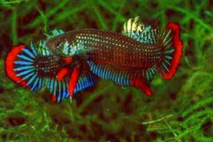 Siamese fighting fish for a fight