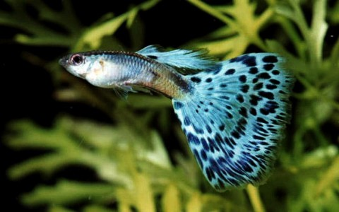 male blue with black spots