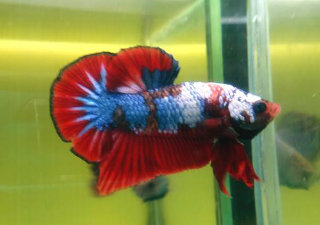 fancy species of betta are only obtainable from private breeders