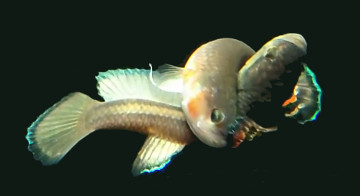 male betta macrostoma showing his full head to tail embrace of female