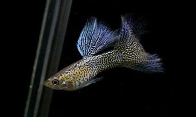 blue lace leopard skin guppy male