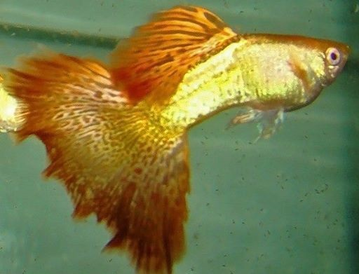 Lovely delta tailed golden guppy male