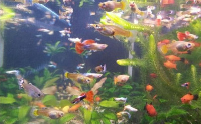 guppies and platies in a community tank