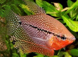 Difficult to beat the beauty of a male pearl gourami