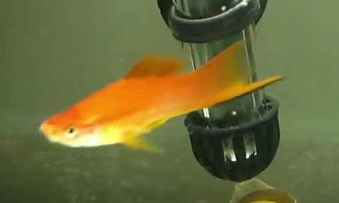 pineapple male swordtail