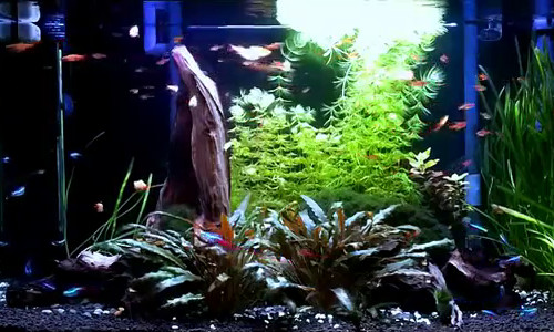 mature cycled aquarium