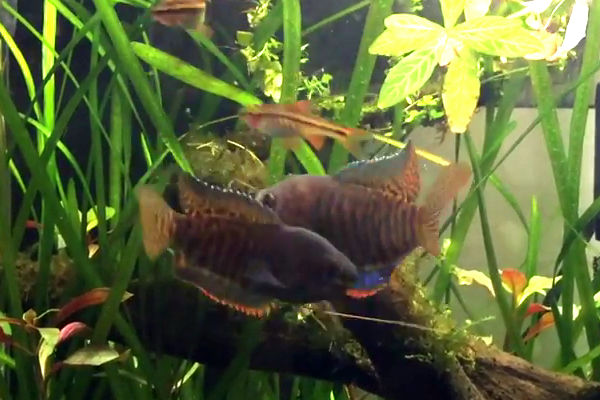 male banded gouramis fighting